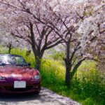 桜とロードスターは相性抜群